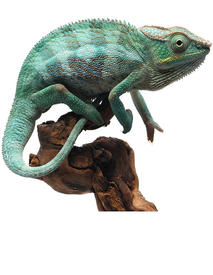BLUE PANTHER CHAMELEON iStock-868180248 small.jpg