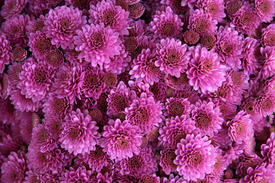 chrysanthemums-purple.jpg