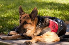 german-shepherd-900220_1280.jpg